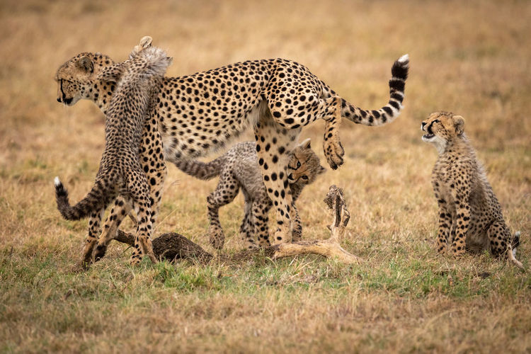 Cheetah and cubs on grass