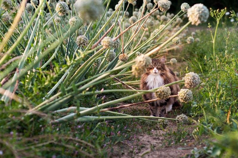 Cat in a onion flowers field