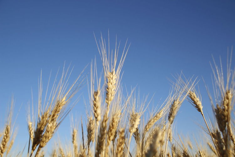 Agriculture Blue Cereal Plant Clear Sky Close-up Crop  Day Farm Field Focus On Foreground Growth Land Landscape Nature No People Outdoors Plant Rural Scene Rye - Grain Sky Wheat