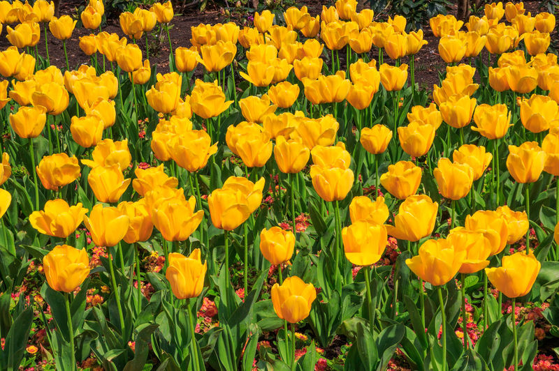 Full frame shot of yellow tulips growing on field