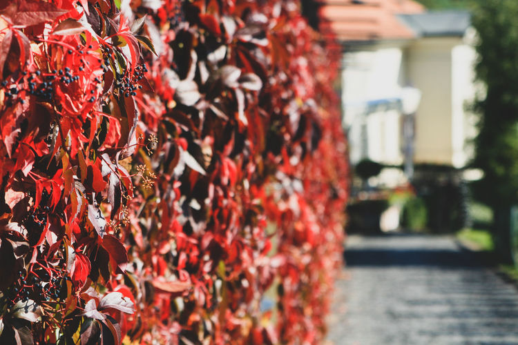 Close-up virginia creeper on walls, red and green leaves in autumn. wild grape background.