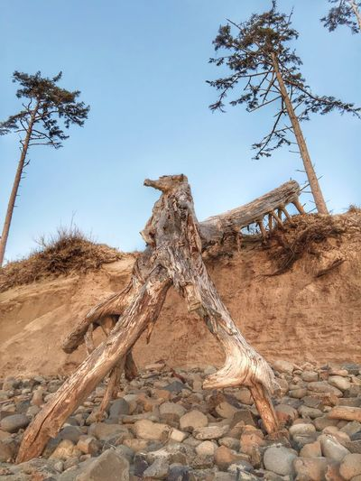 Low Angle View Of Driftwood At Beach Against Clear Blue Sky