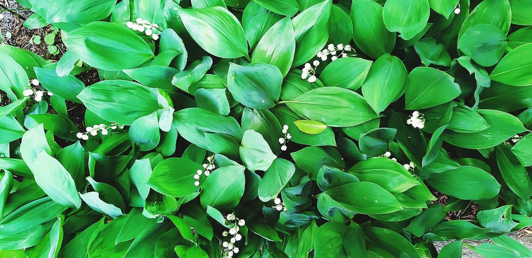 lily of the