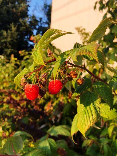 Wild Raspberries First Eyeem Photo Respberries Plant Plant Part Leaf Growth Fruit Berry Fruit Healthy Eating Tree