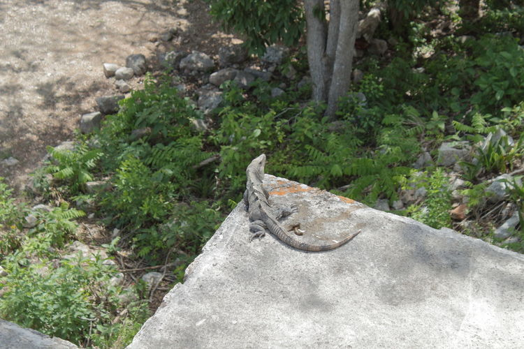 Mexico iguana warming up in the sun on the Mayan ruins America Animal Archaeological Caribbean Iguanas Mayana Mexico Mexican Nature Temple Stones Reptile Reptilian Wild Tropical Tourism Tourist Travel Yúcatan Wildlife Stones