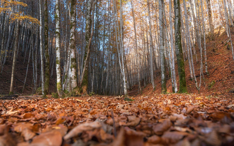 Surface level of dry leaves in forest during autumn