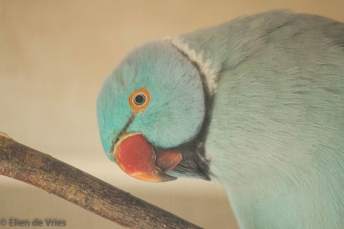Parakeet Parakeets Headshot Animal Head  Bird Birds Bird Photography Birds_collection Vogel Vogels Parkieten Ringneck Ringneckparakeet Close-up Animal Eye Parrot Bigbird