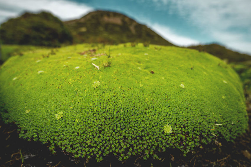Cushion Plants, Tasmania. Australia Closer Look Green Color Alpi Close Up Cushion Plants Dense Details Discover Places Ground Hugging Growth Nature Close-up Highlands Low Growing Macro Micrology Mini Moist Environment Mountain Plants Round Spreading Tasmania Tiny World Vegetation Walls Of Jerusalem National Park Wide Angle
