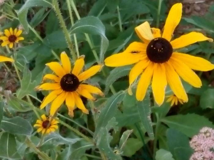 Brown Eyed Susans Yellow Flower Petal Flower Head Blossom