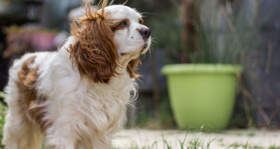 Spring edition Animal Themes Cavalier King Charles Spaniel Close-up Day Dog Domestic Animals Mammal No People One Animal Outdoors Pets Pet Portraits