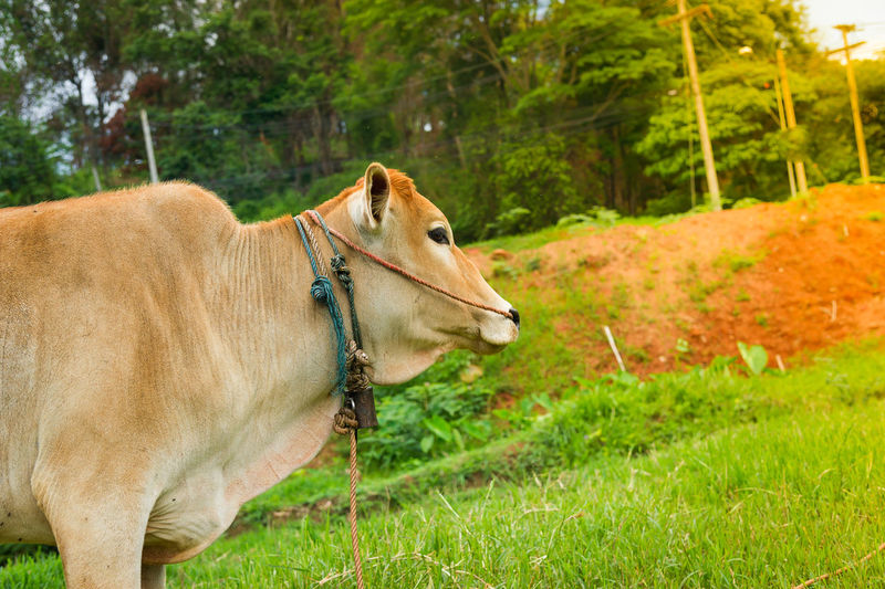 Side view of cow standing on grassy field