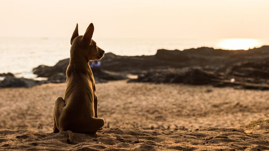 Brown dog relaxing on sandy beach