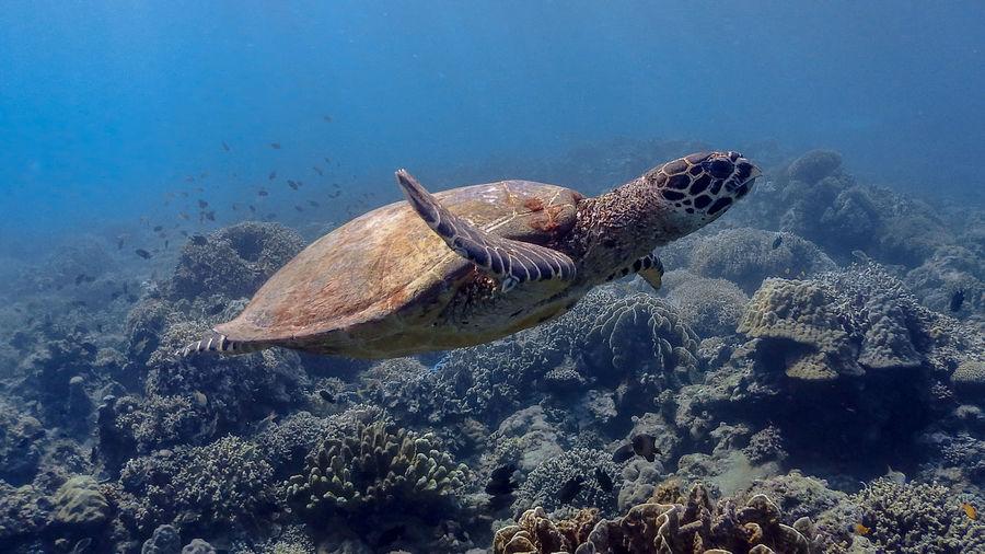 Hawksbill sea turtle at bagalangit
