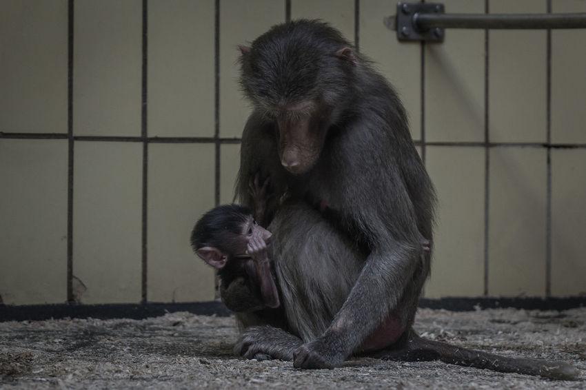 Animal Themes Baboon Baboon Baby Baboon Portrait Indoors  Momandbaby Monkey Monkeys Zoo Zoo Animals  ZooLife Zoology Zoophotography