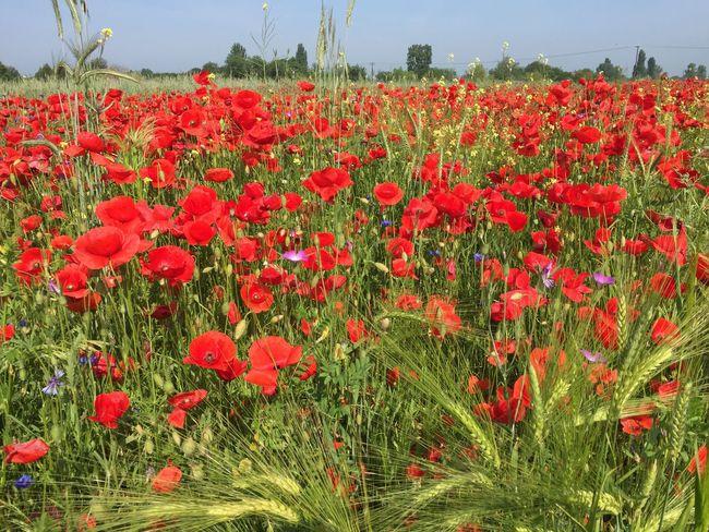 Poppy field Poppy Poppy Flowers Poppy Fields PoppySeed Flowers