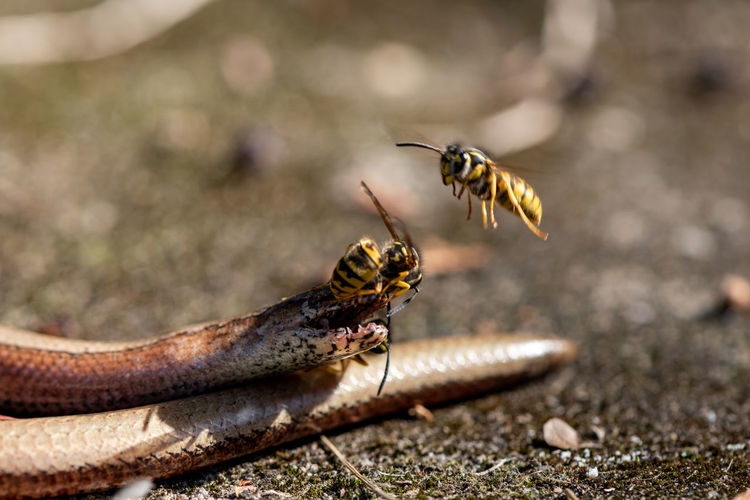 Animal Themes Animal Animal Wildlife One Animal Invertebrate Insect Close-up Day Selective Focus No People Nature Outdoors Focus On Foreground Food Animal Body Part Zoology Arthropod Feeding  Wasp Wasps Action Cycle Of Life Dead Animal Cruel Summer