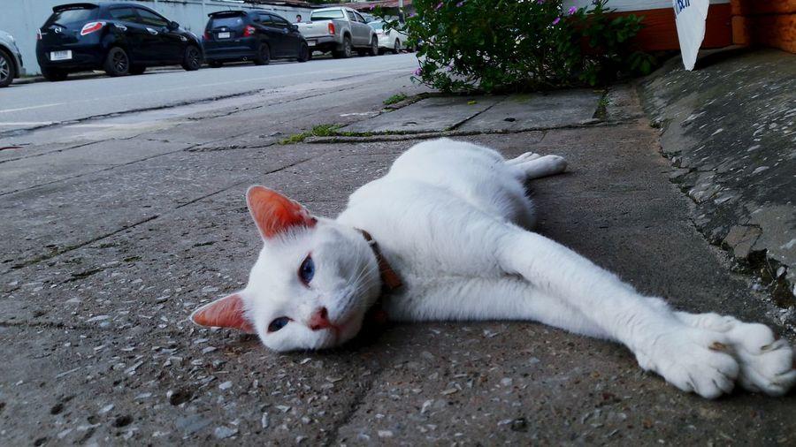 Cat Thailand