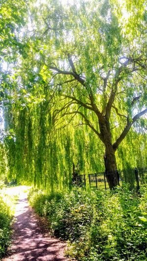 Tree Pathway Fence Peterborough Nature_collection Willow Tree Weeping Willow Tree Weeping Willow Tree_collection  Pathways United Kingdom Outdoors Nature Photography Nature Beauty In Nature Trees Trees And Nature Tree_collection  Pathway In Nature Pathway In The Park Park