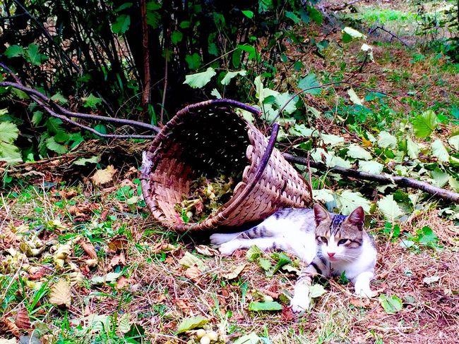Animal Cat Lovers Karadeniz Trabzon Beşikdüzü  Cat Fındık Taze Dalından