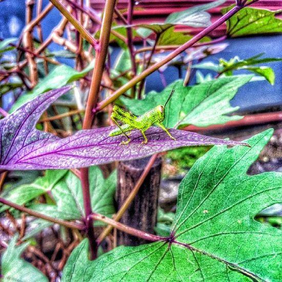 be-la-lang Grasshopper Belalang Leaf Green