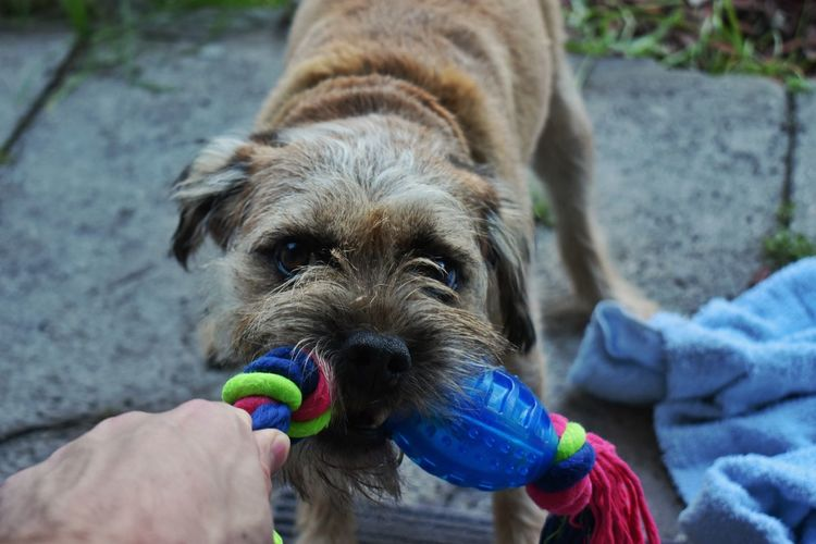Dog Pets Domestic Animals One Animal Day Outdoors Human Hand Portrait Animal Themes Human Body Part Lifestyles One Person Mammal Protruding People Close-up Dog Toy Playing Playful Dog