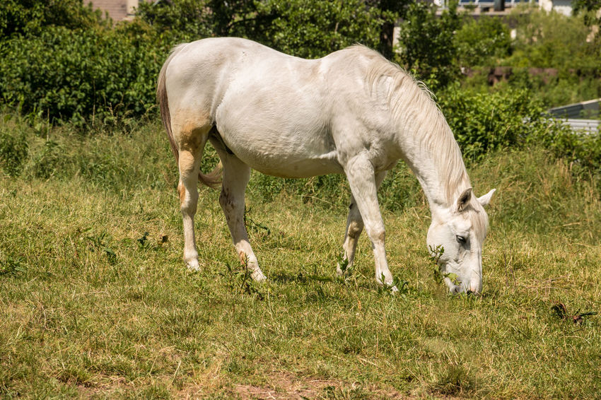 Horses on the green meadow Agriculture Animal Animal Family Animal Themes Animal Wildlife Day Domestic Domestic Animals Field Grass Group Of Animals Herbivorous Horse Land Livestock Mammal Nature No People Outdoors Pets Plant Vertebrate Young Animal