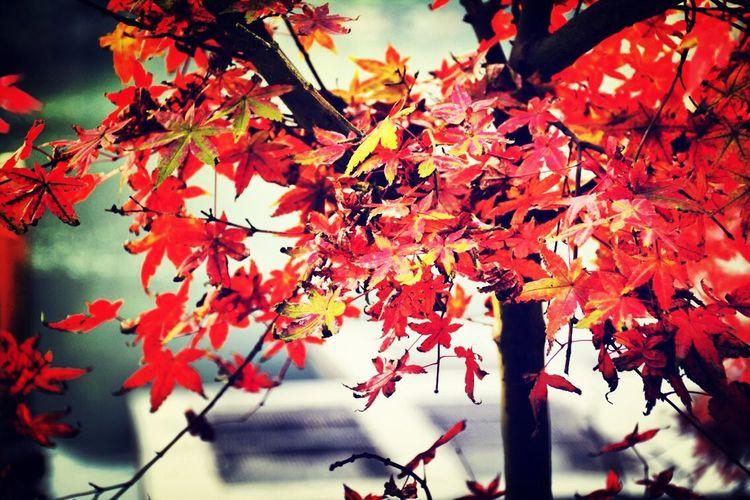 这是秋叶么?! Enjoying Life