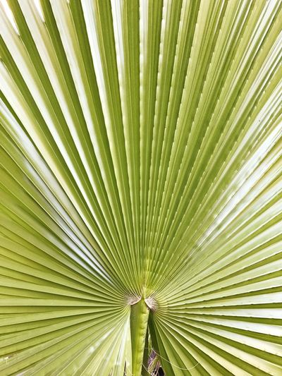 Palm Tree Palm Leaf Palm Leaves Geometry In Nature Geometry Lines Backgrounds Green Color Leaf No People Outdoors Nature