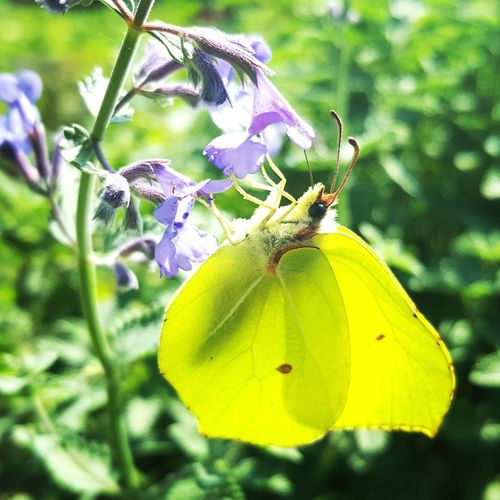 Brimstone butterfly Butterfly Lepidoptera Insects  Insects  Wildlife Nature Brimstone Butterfly Gonepteryx Rhamni