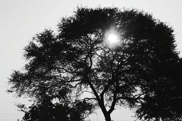 Low Angle View Sun Tree Sunlight Branch Sunbeam Growth Clear Sky Beauty In Nature Nature Scenics Sky Bright Back Lit High Section