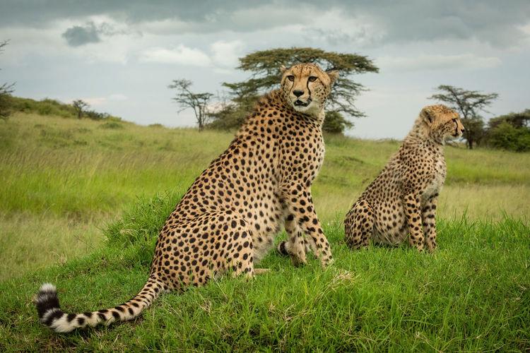 Cheetah sits beside cub on grassy mound