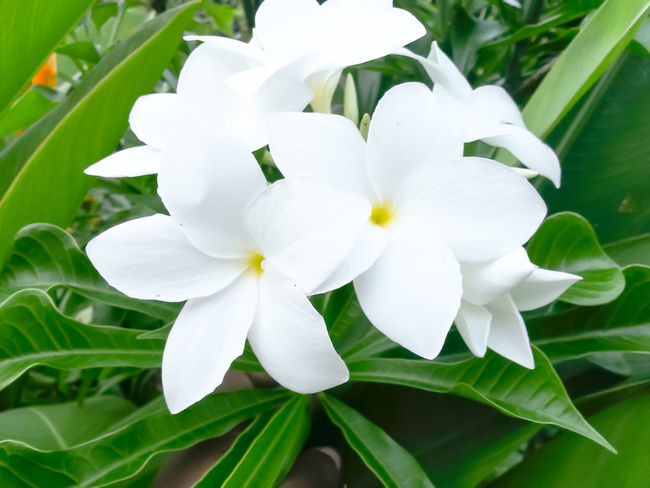 White Color Flower Head Nature Plant Growth Flower Close-up Beauty In Nature Outdoors Day Leaf White Polynesian