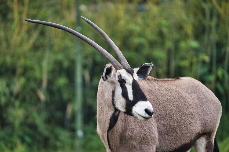 Heidekreis, germany,june 6, 2019, serengeti park, oryx gazelle, scientific name oryx gazella