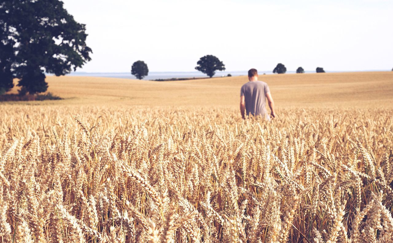 Rear view of man walking on wheat field