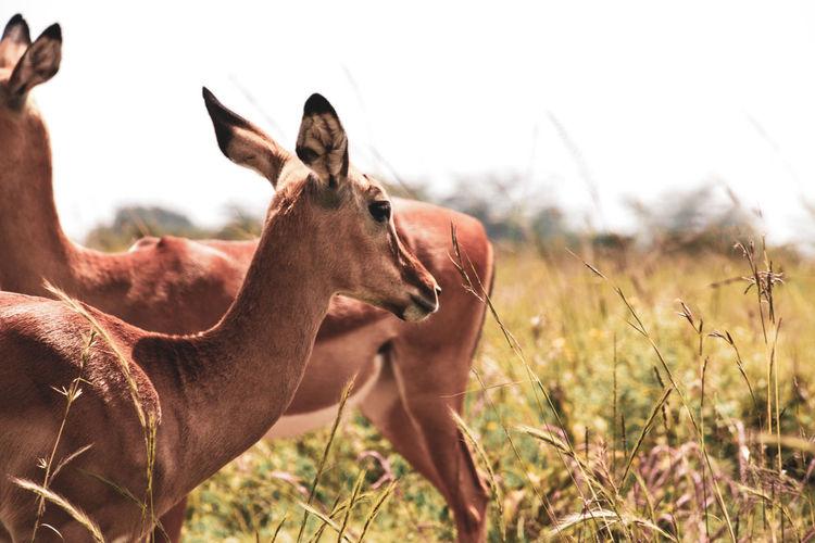 Impala Architecture Wildlife Wildlife & Nature Horns Kenya Africa Nairobi Outdoors Animals In The Wild Animals Nature Animal Themes Animal Wildlife Mammal Field Animal Land Plant Vertebrate Grass Group Of Animals Sky Day Focus On Foreground Two Animals Herbivorous