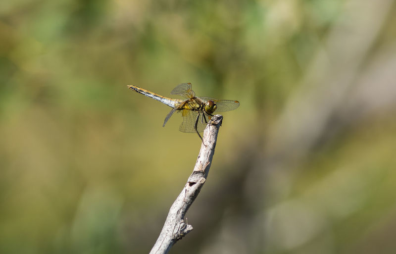Dragonfly Damselfly Perching Insect Full Length Close-up Animal Themes Dragonfly Animal Wing Animal Antenna Pollination Bee Grasshopper
