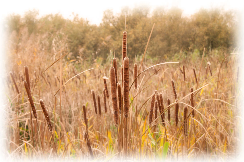 Dry Grassy Landscape Nature Nature Netherlands Outdoors Plant Reed Reed Cigar Tranquility Zwanenwater
