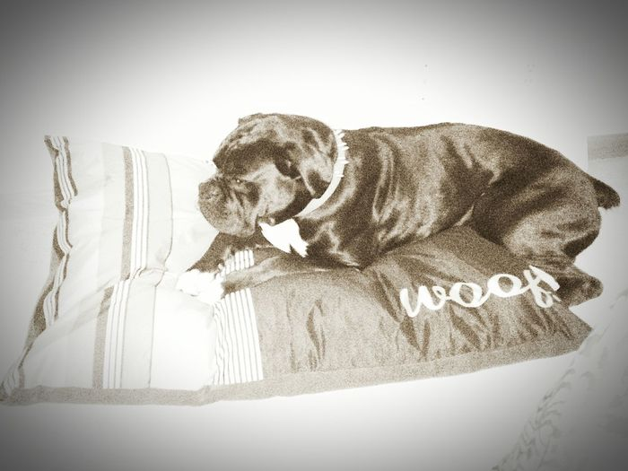 Boxer Dogs Woof Woof Dogslife BedTime :) Call Me Zeke I Love My Dog Full Blooded Black Boxer Black & White