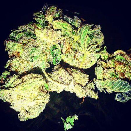 Weedstagram MaryJane Fueledbythc Crystals Haze Purple Smokeup HighTimes Green Lush Highlife Iloveweed