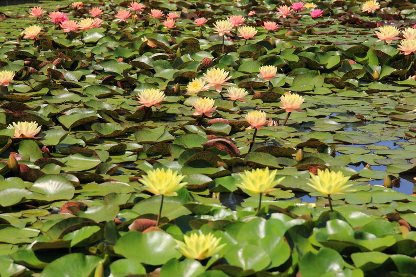 Beauty In Nature EyeEm Flowers Collection EyeEm Nature Lover Floating On Water Flower Flower Collection Flower Head Flower Photography Fragility Freshness Green Color Growth Leaf Nature Nature Photography No People Outdoors Plant Water Lily スイレン 睡蓮
