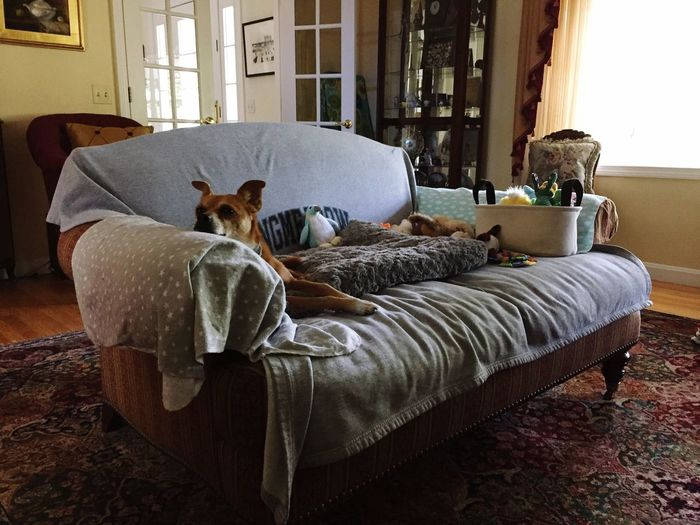 KINGDOM Toys Adopt Dont Shop Rescue Dog Chihuahua Mix Winston Pets Domestic Animal Dog Relaxation Sofa Resting Comfortable