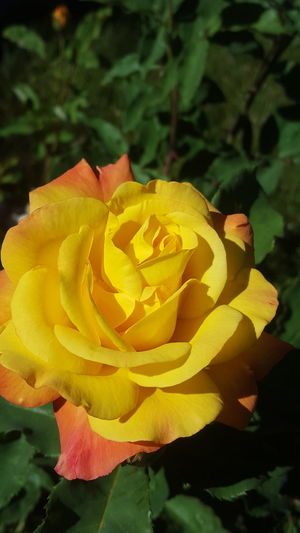 Of One Family Of Roses Beauty In Nature