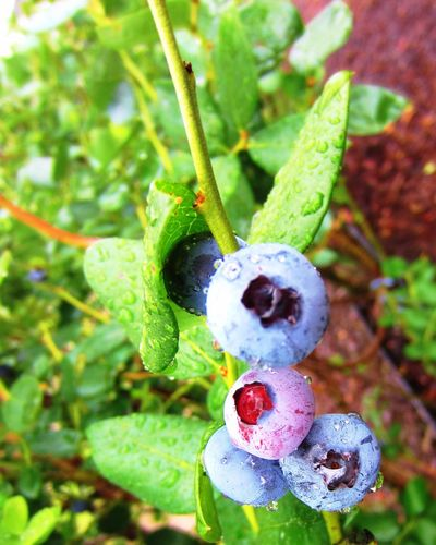 """""""I got my thrill..."""" You know the rest. Blueberry Fresh Pickyourown Blueberry Fields Blueberry Picking Blueberry Farm Blueberry Pie Nature"""