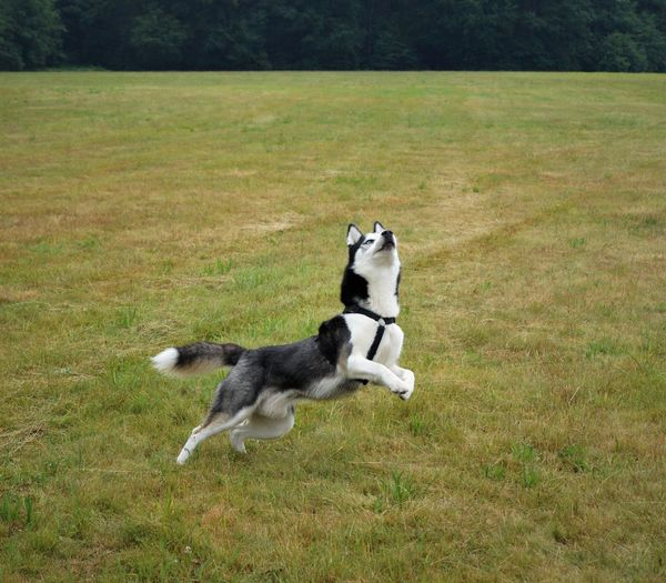 One Animal Dog Animal Themes Domestic Animals Pets Mammal Canine Domestic Animal Plant Land Grass Day Running Nature Field No People Dogsofinstagram Siberian Husky Husky Huskyphotography Sport Active Running Ball Dogs Dogslove RainyDay Drops Drops Of Water Sleddog Northdowns