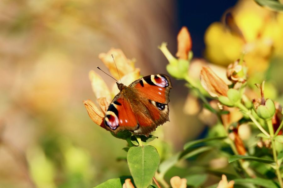 Aglais io Love Nature Aglais Io Nature EyeEmBestPics EyeEm Best Shots EyeEm Nature Lover Butterfly Perching Full Length Flower Butterfly - Insect Leaf Insect Close-up Plant Spread Wings Animal Wing Wild Animal