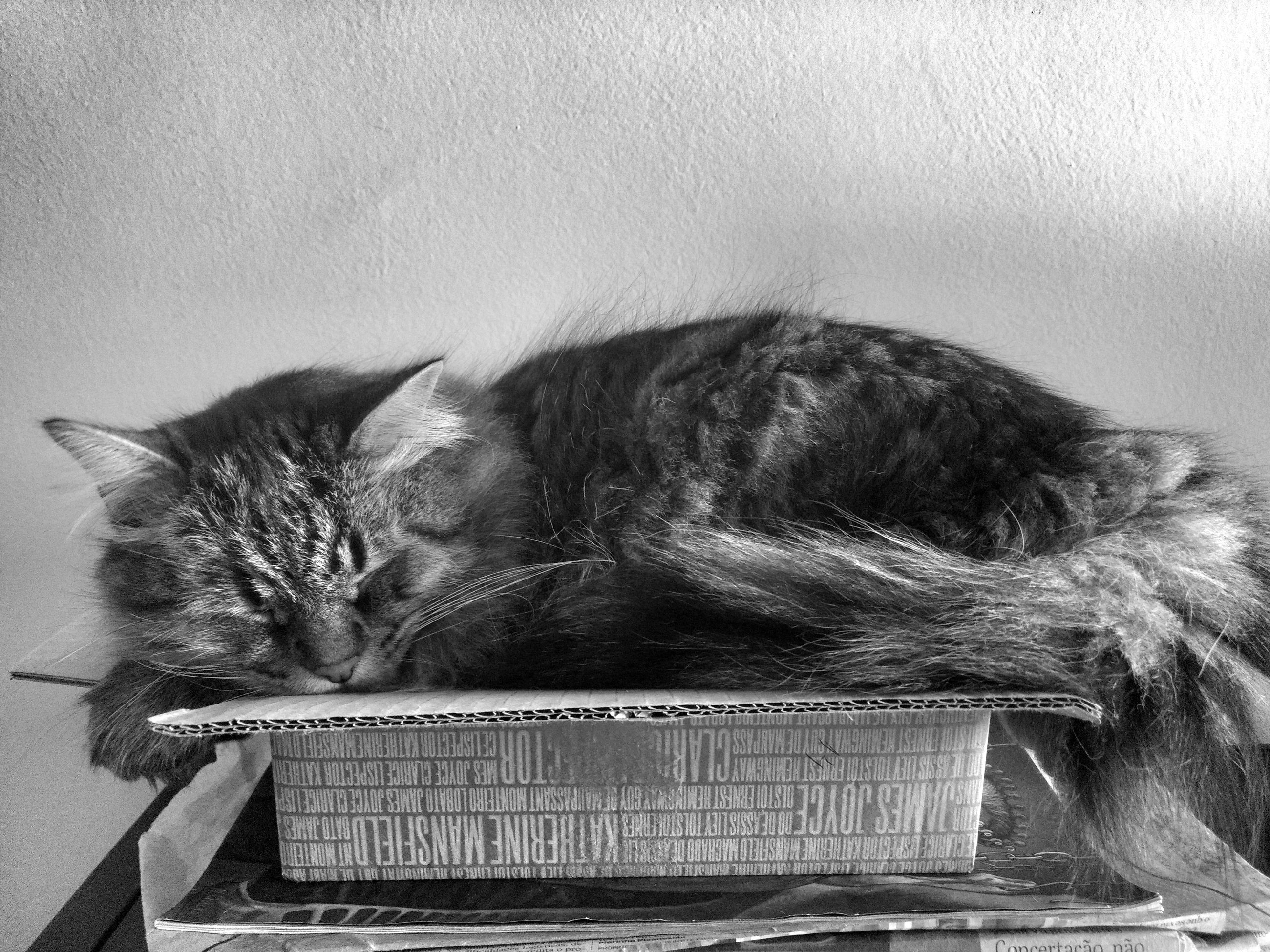 domestic cat, pets, domestic animals, indoors, animal themes, feline, mammal, cat, one animal, no people, relaxation, close-up, day