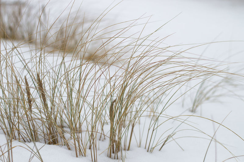 Beach grass in winter on white snow background. Selective focus. Plant Growth Nature No People Grass Beauty In Nature Close-up Snow Winter Day Cold Temperature Land Focus On Foreground Tranquility Outdoors Field White Color Selective Focus Sky Marram Grass Stalk Winter Background Minimalistic Background Artistic