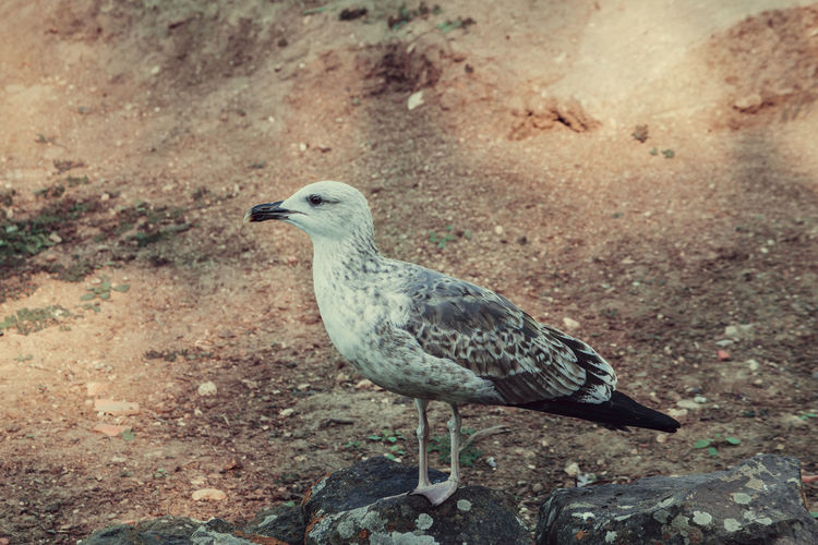 Close-up of seagull on rock