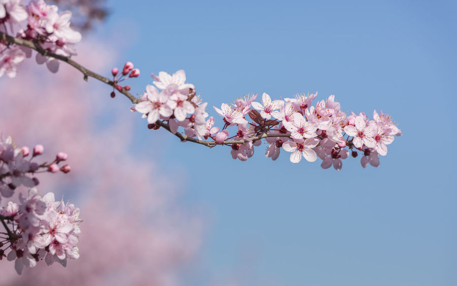 Branch of cherry tree full of pink flowers Beauty In Nature Blossom Blue Blue Sky Blurred Background Botany Branch Cherry Blossom Cherry Tree City Decoration Clear Sky Close-up Day Flower Fragility Nature Nature No People Outdoors Petal Pink Pink Color Springtime Tree Twig