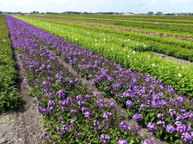Flower Purple Field Nature Rural Scene Agriculture Growth Beauty In Nature Lavender Landscape Farm Tranquil Scene Scenics Freshness Abundance No People Plant Outdoors Day Tranquility Flowerfield